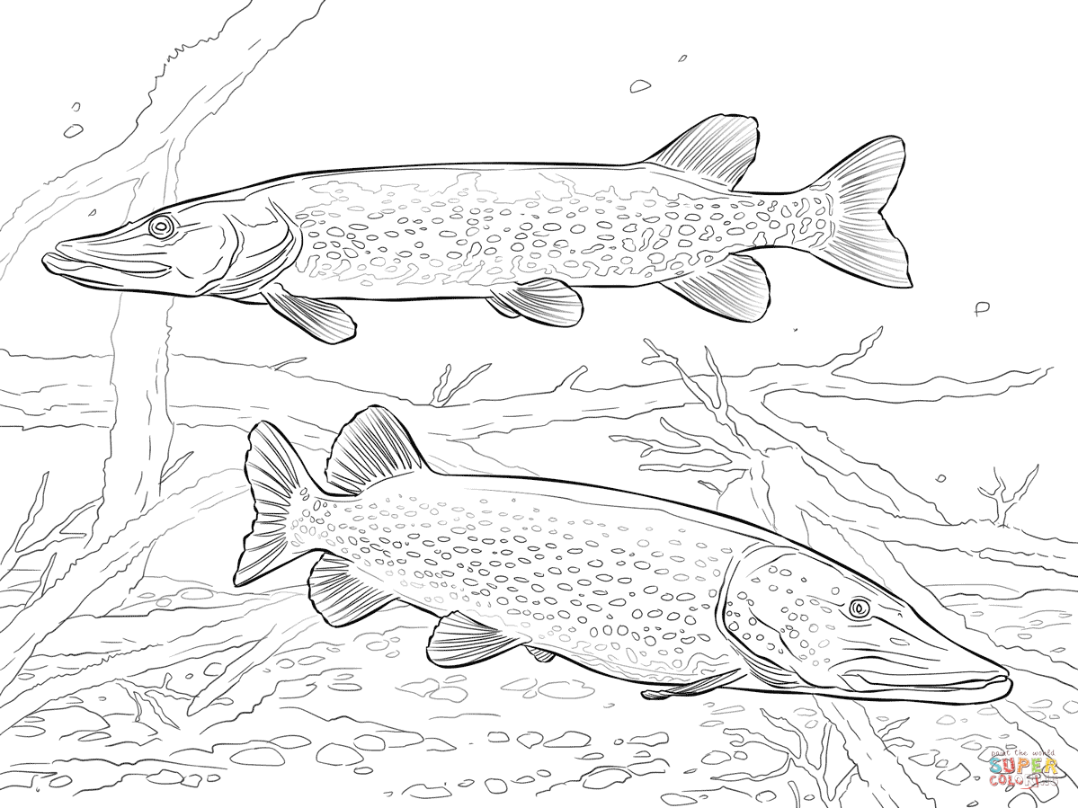 1199x899 Two Northern Pikes Coloring Page Free Printable Coloring Pages
