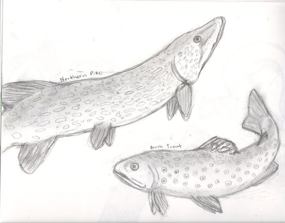 564x441 Brook Trout And Northern Pike Fish Sketch Sketchbook