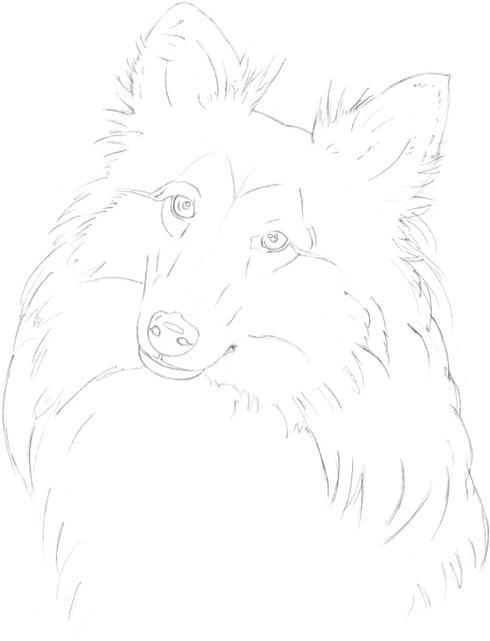 490x641 Shetland Sheepdog