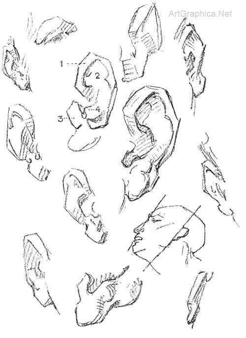 500x686 Constructive Anatomy George Bridgman, Drawing Eyes, Ears Mouth