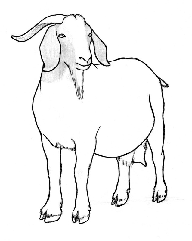 638x800 Goat Drawings
