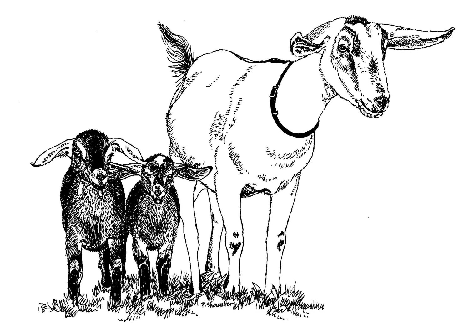 1500x1062 Original Of The Pen And Ink Kinder Goat Drawing By Pat