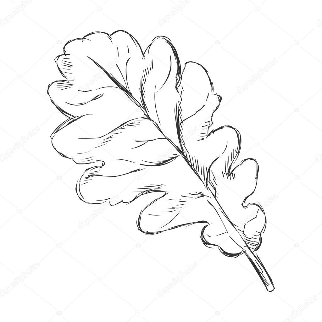 1024x1024 Single Sketch Oak Leaf Stock Vector Nikiteev