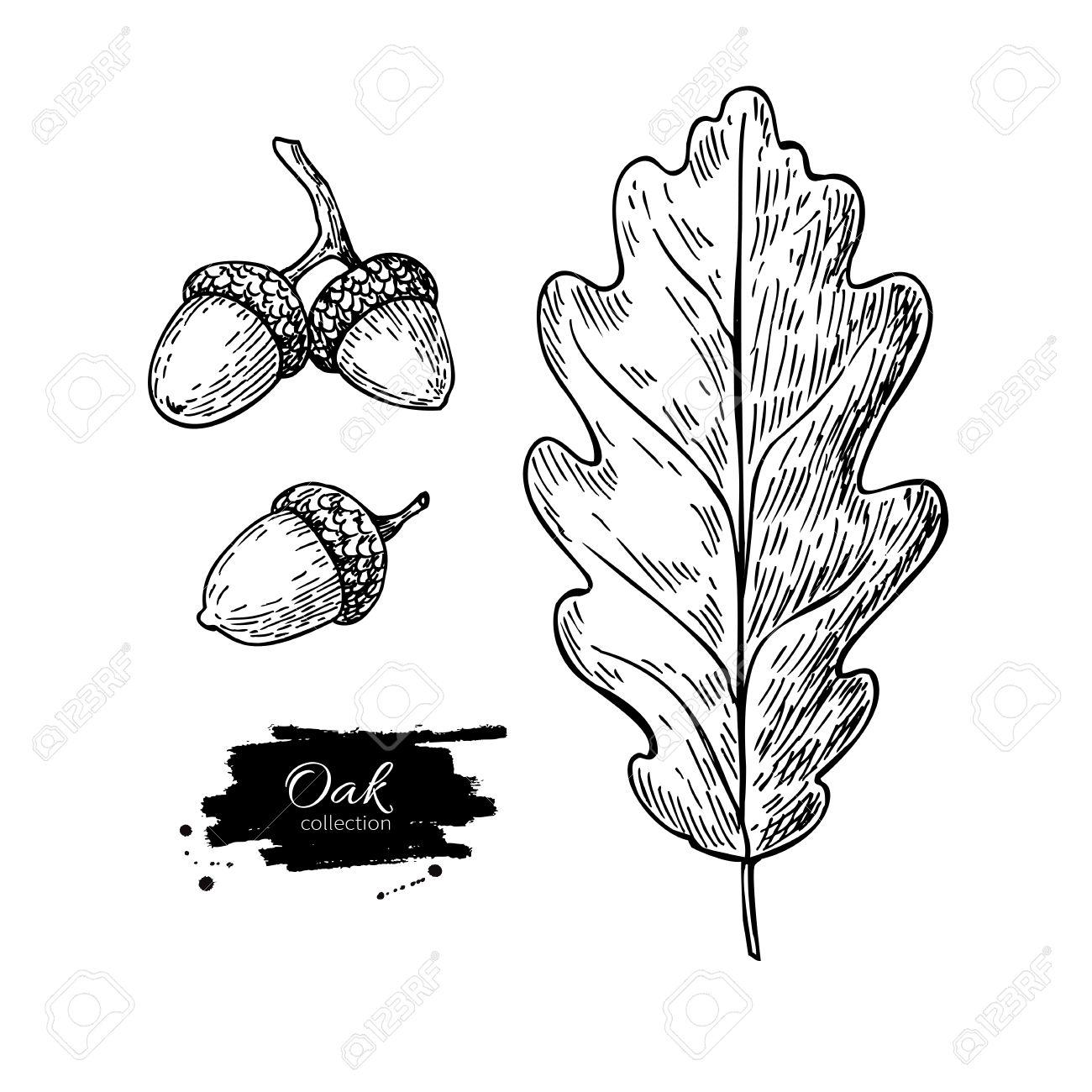 1300x1300 Vector Oak Leaf And Acorn Drawing Set. Autumn Elements. Hand
