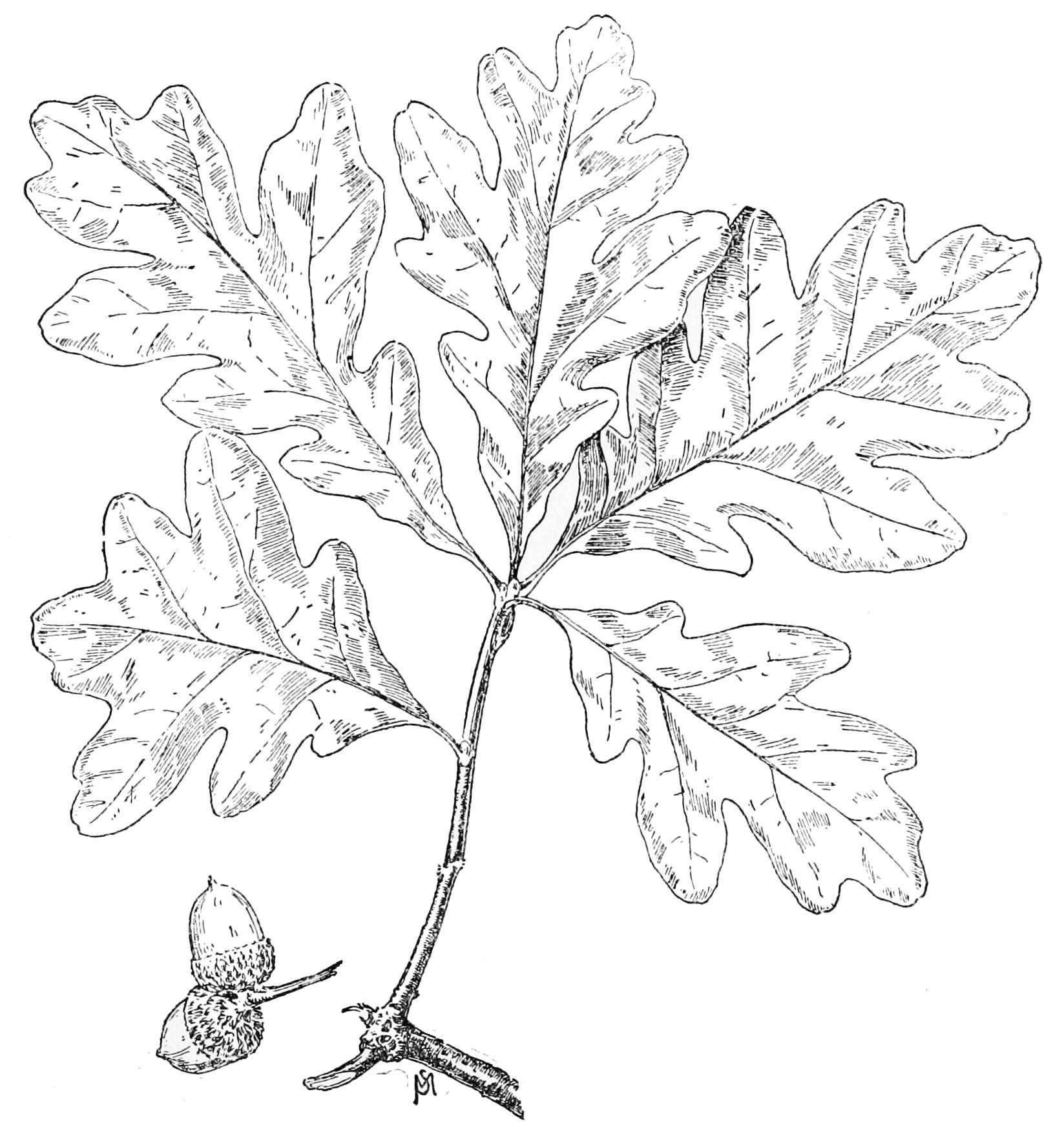 1647x1744 White Oak Leaf Permanence Oak Leaves