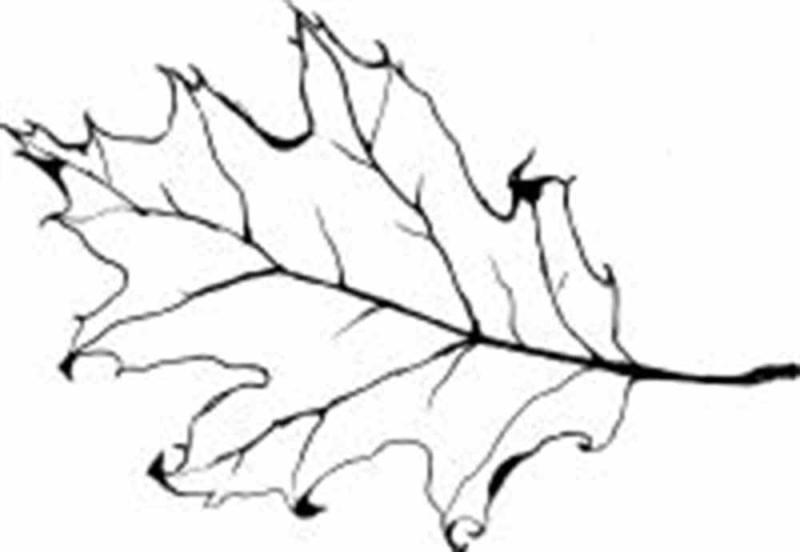 800x552 Oak Leaf Outline Clip Art