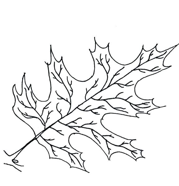 576x598 Oak Leaf Coloring Page White Oak Tree Leaves Coloring Page Oak