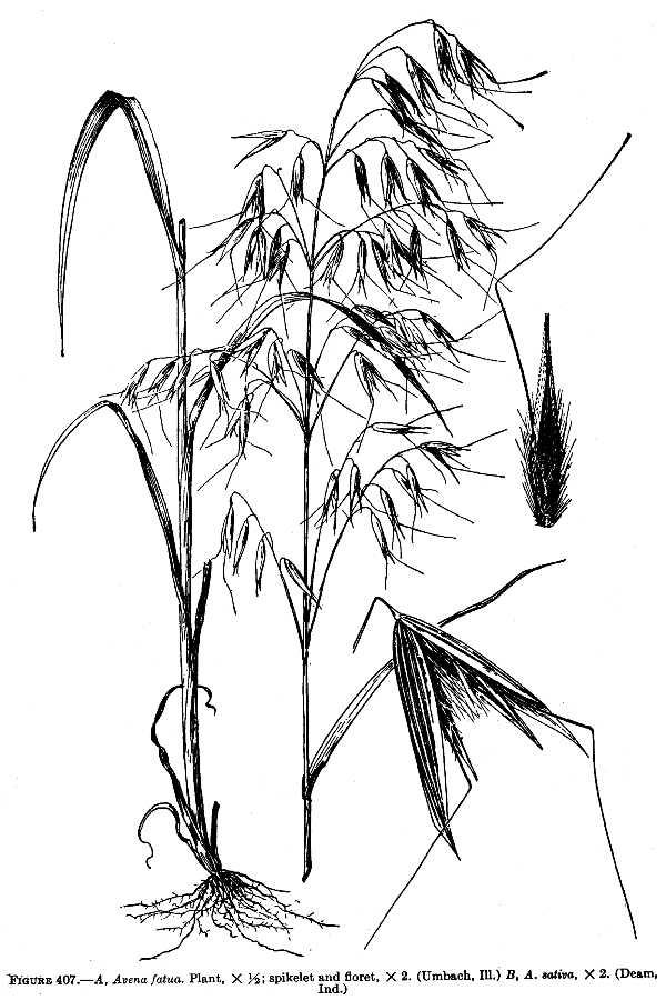 600x900 Large Image For Avena Fatua (Wild Oat) Usda Plants
