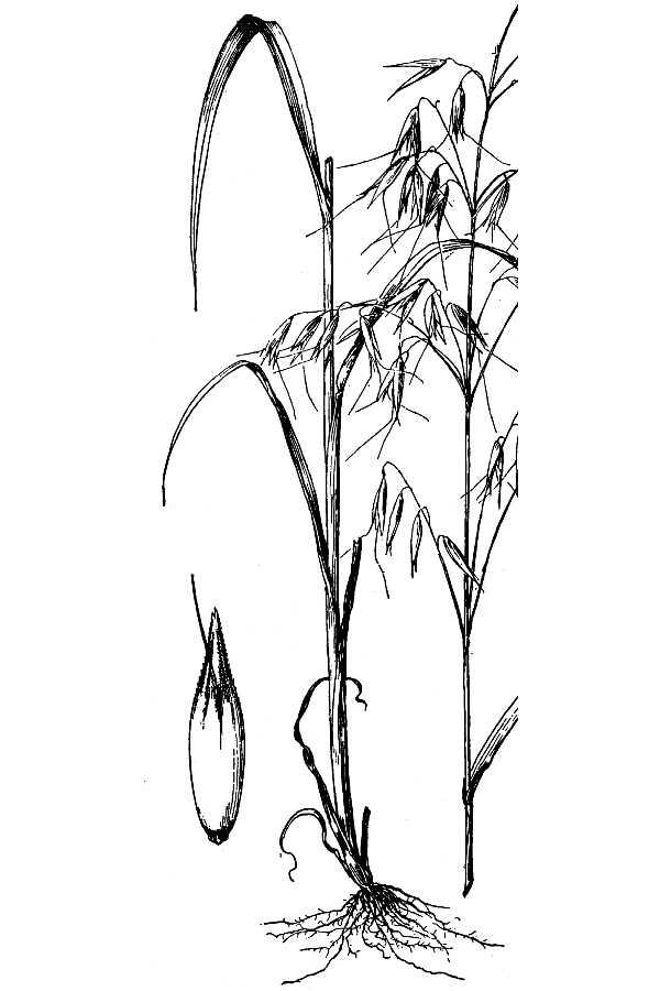 600x900 Large Image For Avena Sativa (Common Oat) Usda Plants