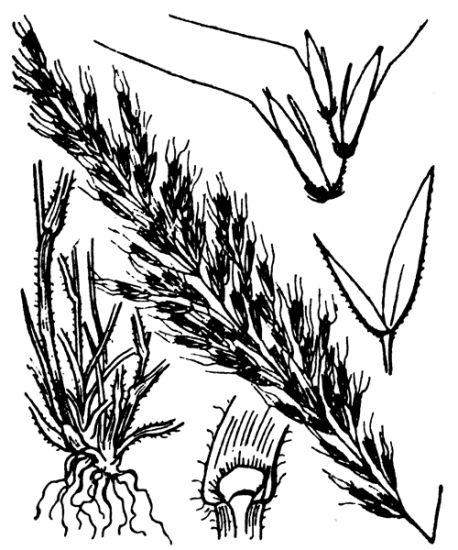 458x550 Golden Oat Grass