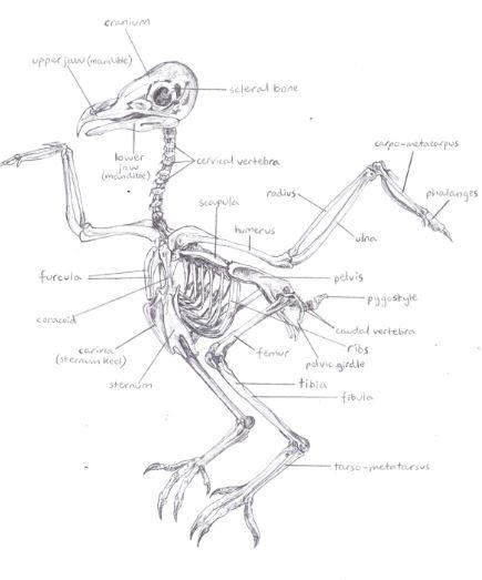 435x523 Nancy Rothwell Award 15 18 Year Old Category Barn Owl Skeleton