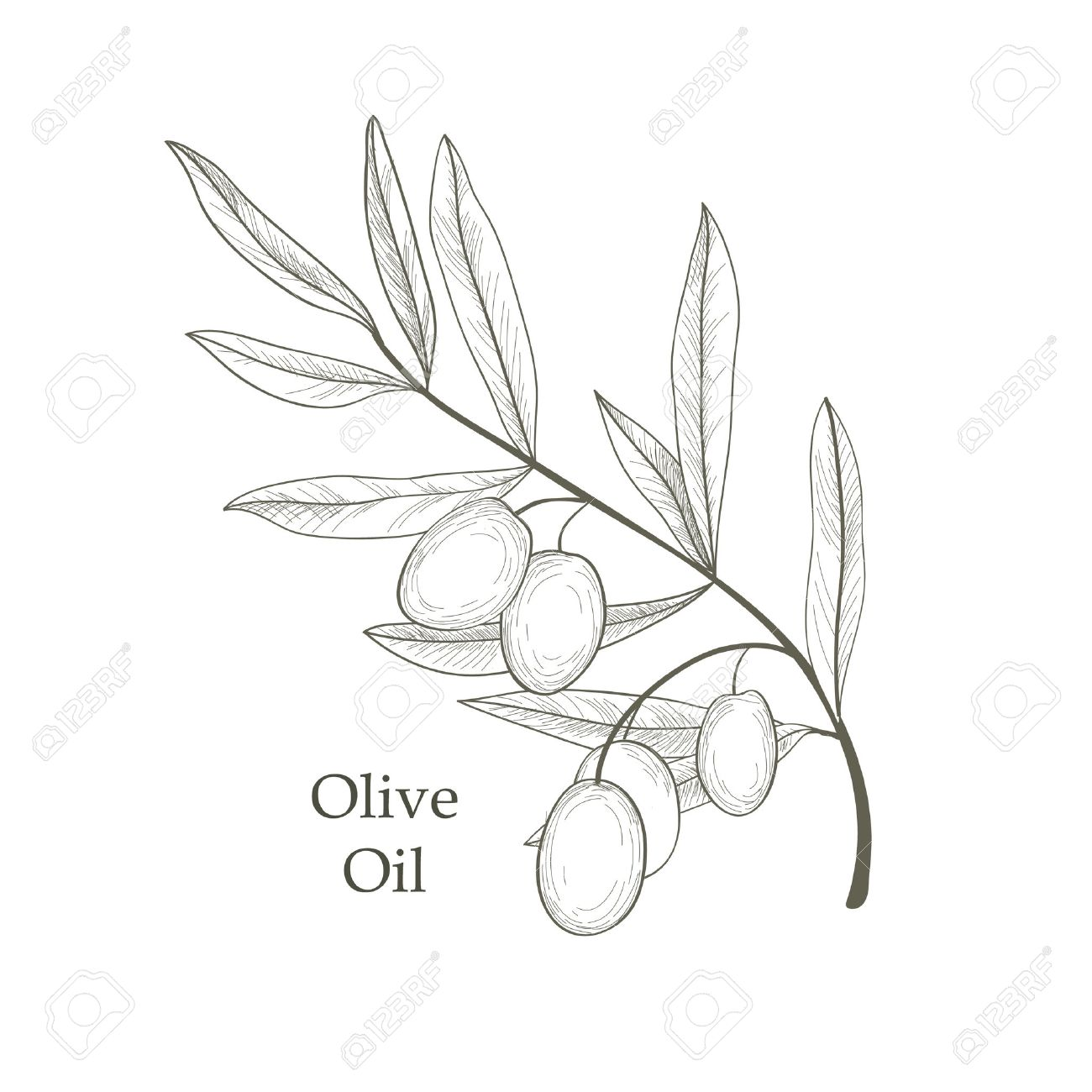 1300x1300 Olive Tree Branch With Olives Isolated Sketch Over White