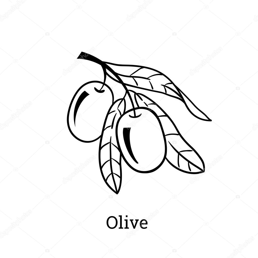 1024x1024 Vector Sketch Of Olive Tree Branch. Engraving Hand Drawn Style
