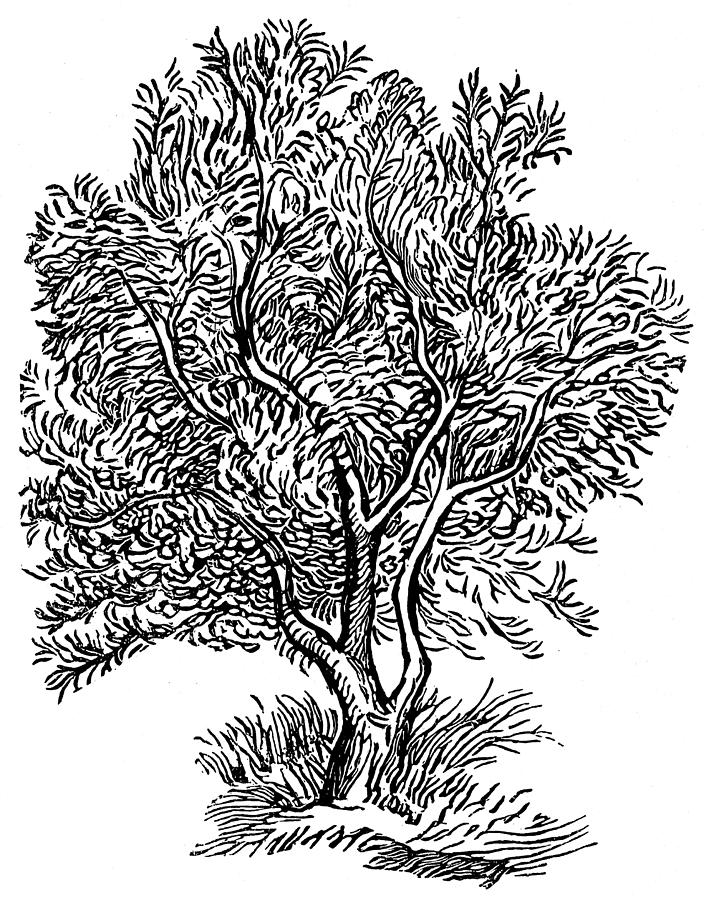704x900 Wild Olive Tree Drawing By Granger