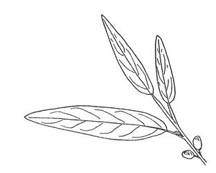 312x250 Key To Common Colorado Landscape Trees
