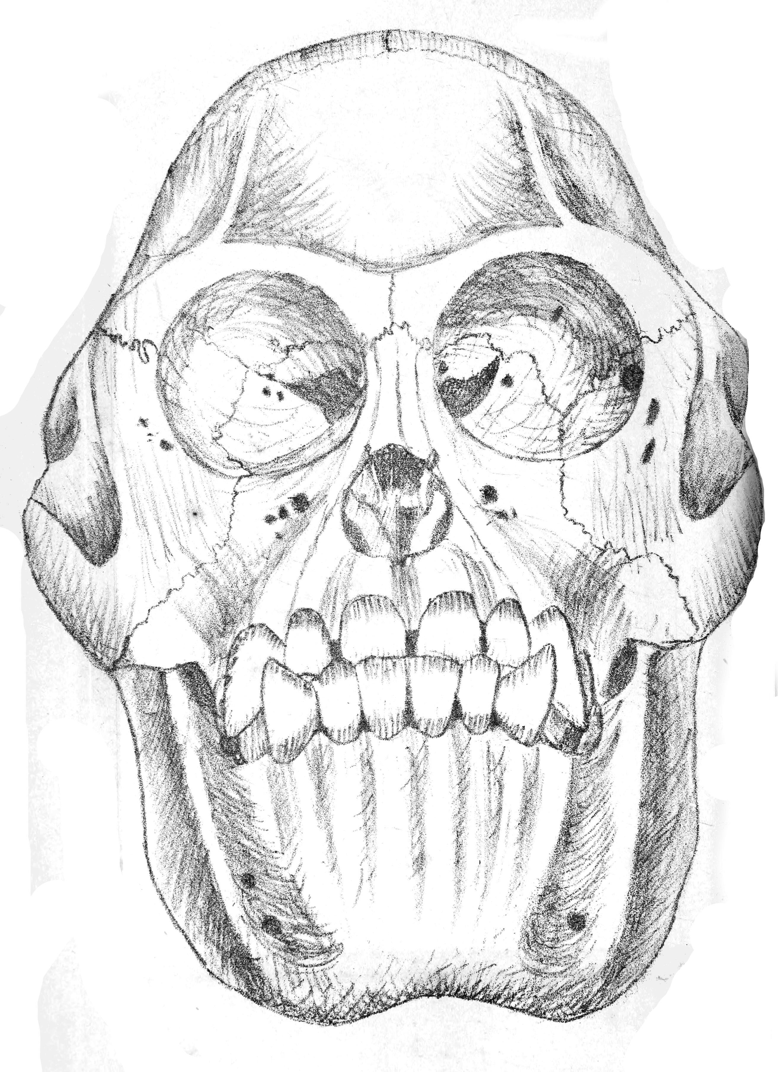 2625x3616 Fileorangutan Skull Jasb 9.jpg