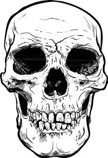 219x320 Human Skull Vector Art. Detailed Hand Drawn Illustration Of Skull