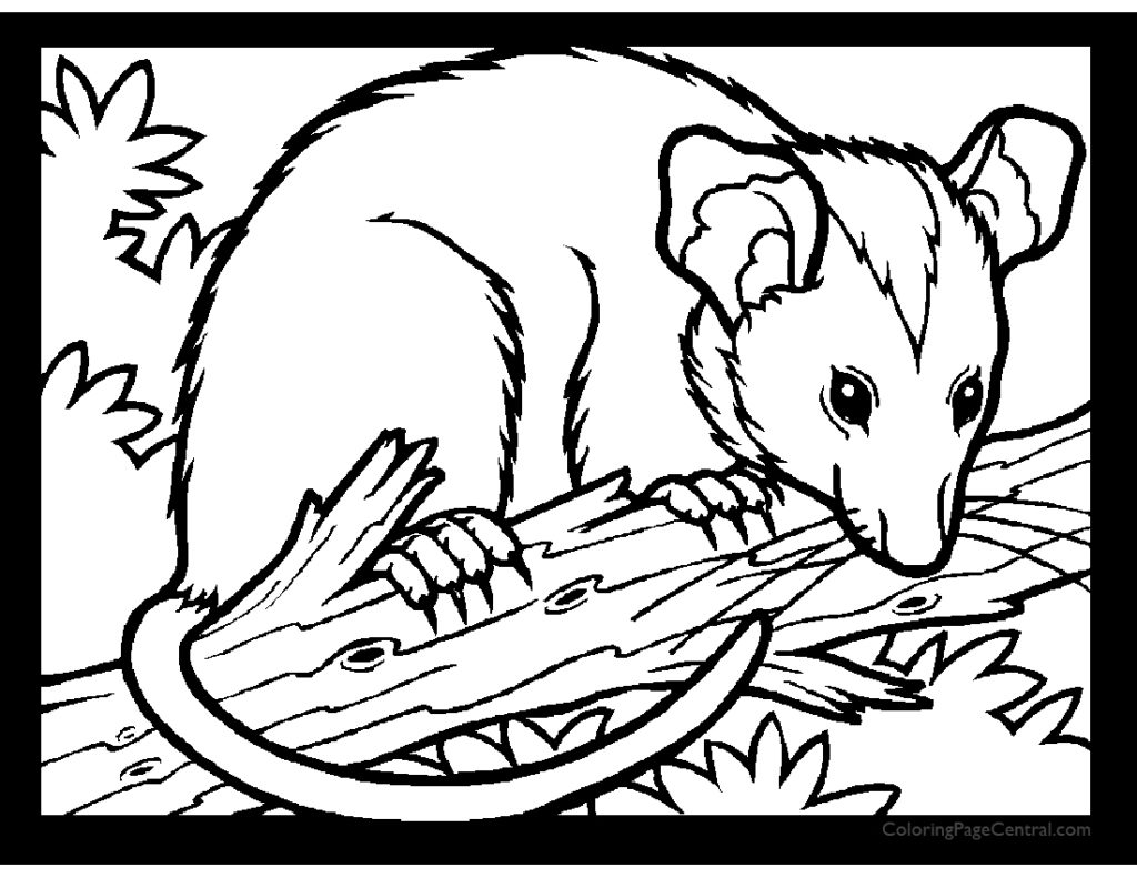 Opossum Drawing at GetDrawings.com | Free for personal use Opossum ...