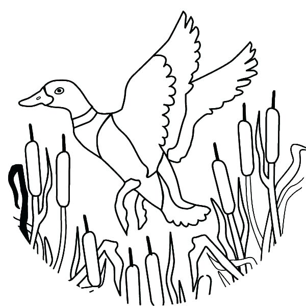 600x600 Ducks Coloring Pages Duckling Oregon Ducks Blank Coloring Pages