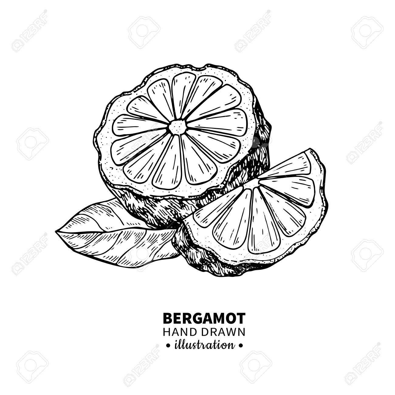 1300x1300 Bergamot Vector Drawing. Isolated Vintage Illustration Of Citrus