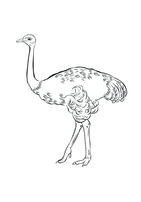 472x678 Ostrich Coloring Page Free Animals Ostrich Printable Coloring