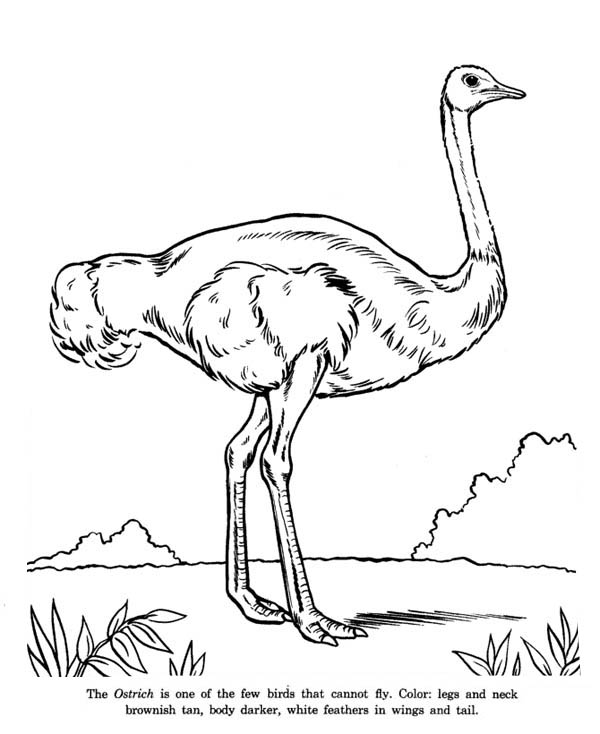 600x734 Ostrich Is Cannot Fly Bird Coloring Page Color Luna
