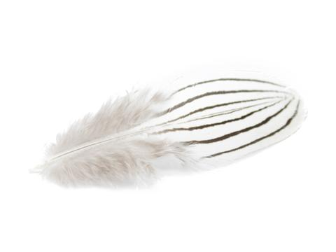 480x360 Silver Pheasant Black Amp White Plumage Feathers Feather Buy