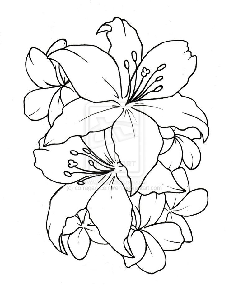 Outline drawing of flowers at getdrawings free for personal 736x922 16 best hibiscus flower tattoo outline images on pinterest mightylinksfo Gallery