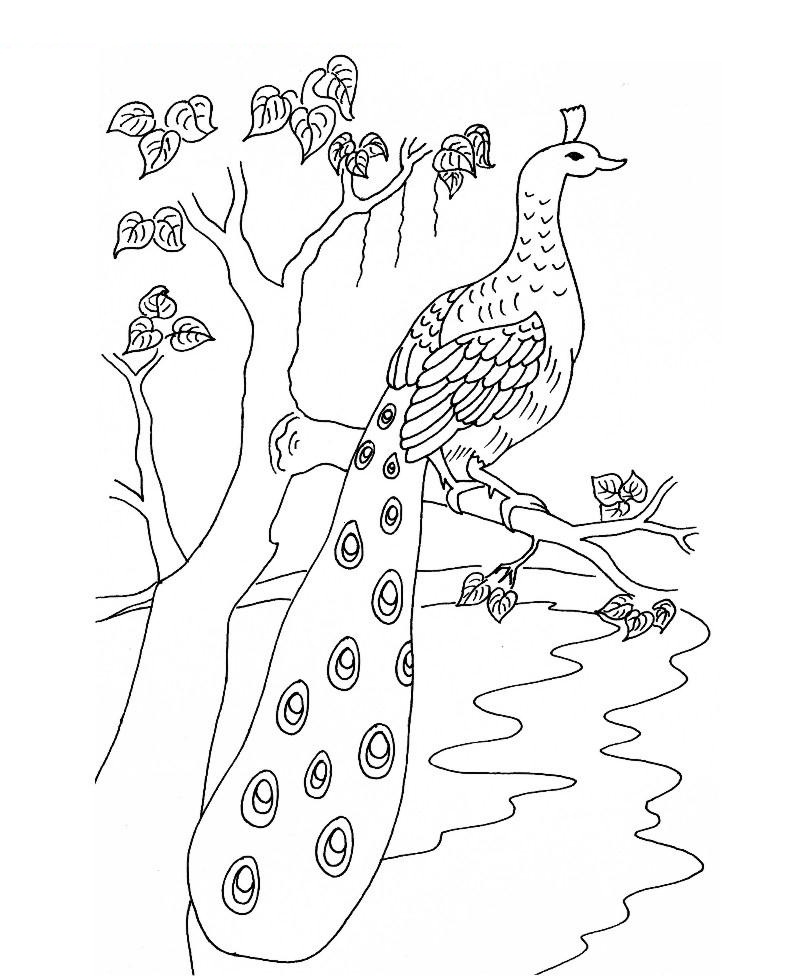 Outline Of A Peacock Drawing At Getdrawings Com Free For Personal