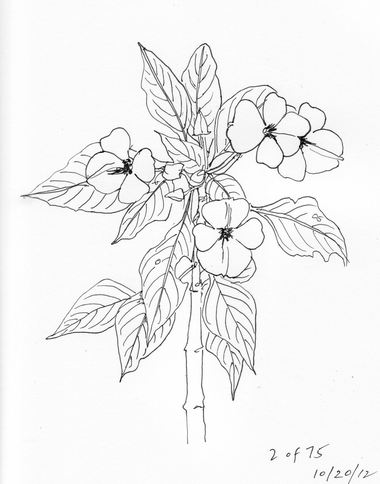 1254x1600 Drawing On Nature Day 2 Impatiens