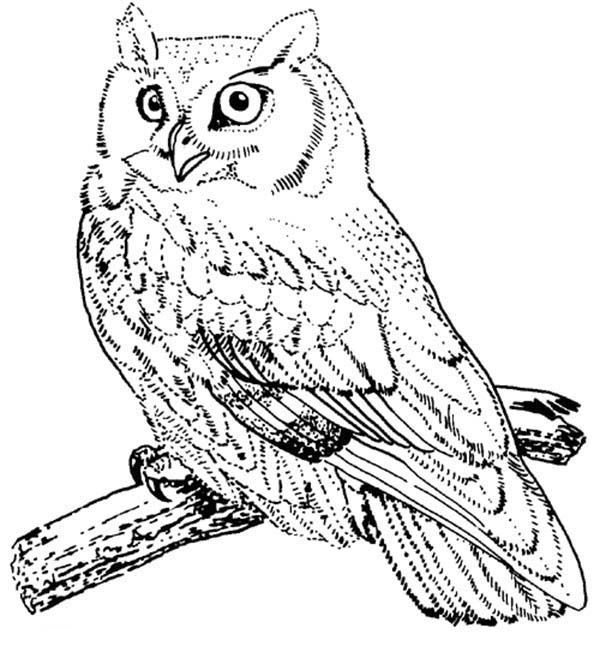 600x646 Screech Owl Coloring Pages