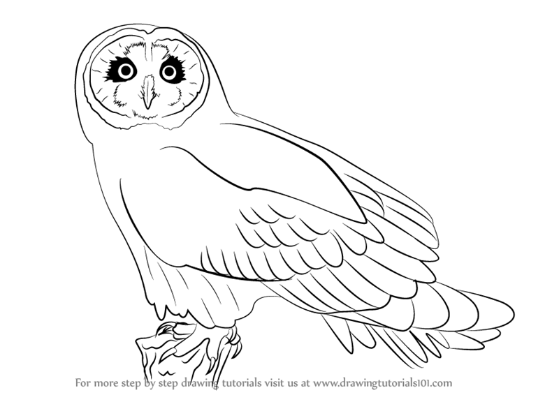 800x566 Learn How To Draw A Short Eared Owl (Owls) Step By Step Drawing