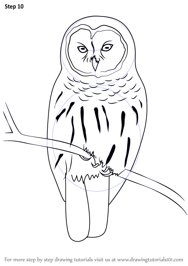 599x848 Learn How To Draw A Barred Owl (Birds) Step By Step Drawing