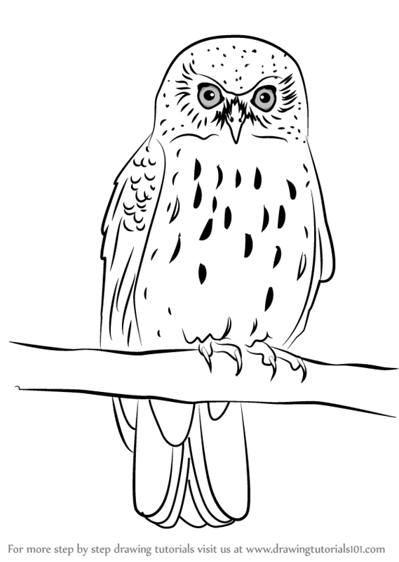 569x800 Learn How To Draw A Morepork (Owls) Step By Step Drawing Tutorials