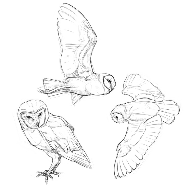 Owl Flying Drawing