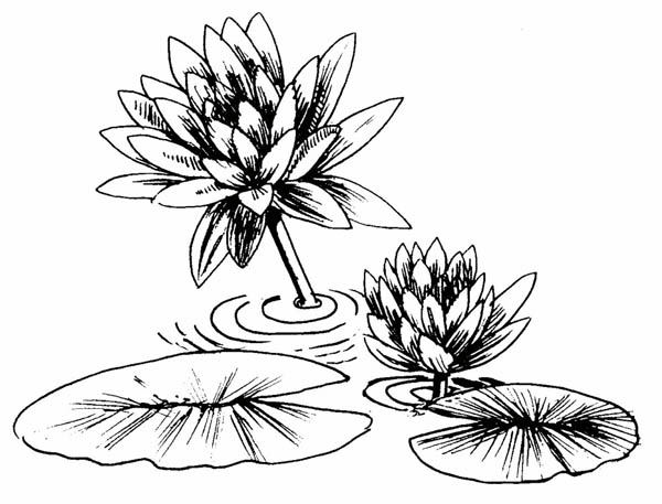 600x457 Lily Pad, Photo Of Lily Pad Coloring Page Koi, Ponds, Flowers