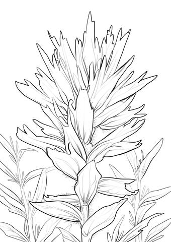 340x480 Wyoming Indian Paintbrush Coloring Page Free Printable Coloring