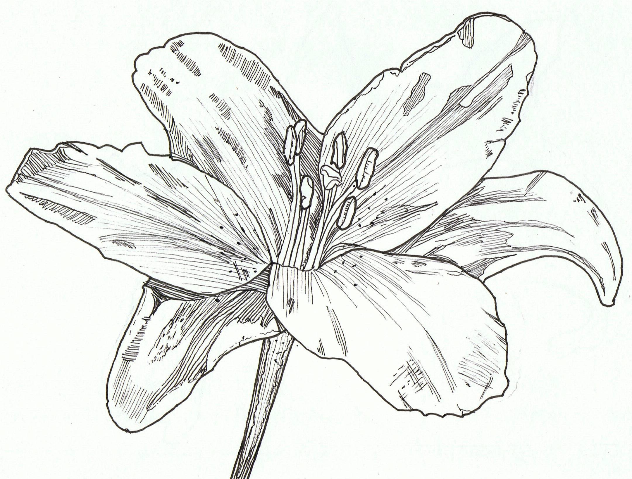 2161x1639 Lily, Pen Amp Ink Art Sketchbook Sketchbooks