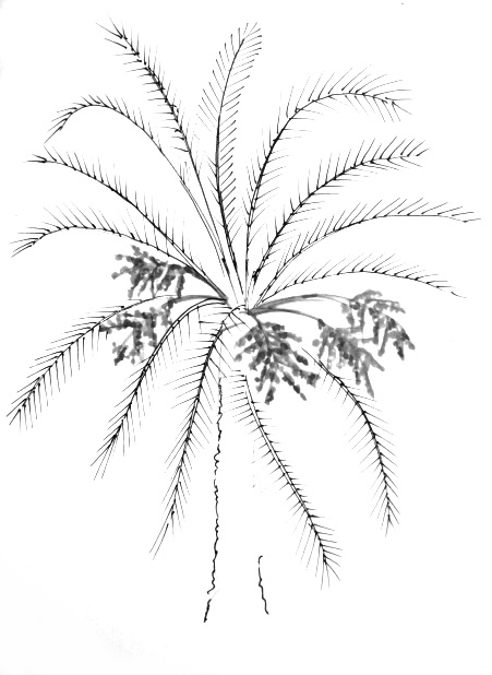 451x618 How To Draw A Date Palm Tree