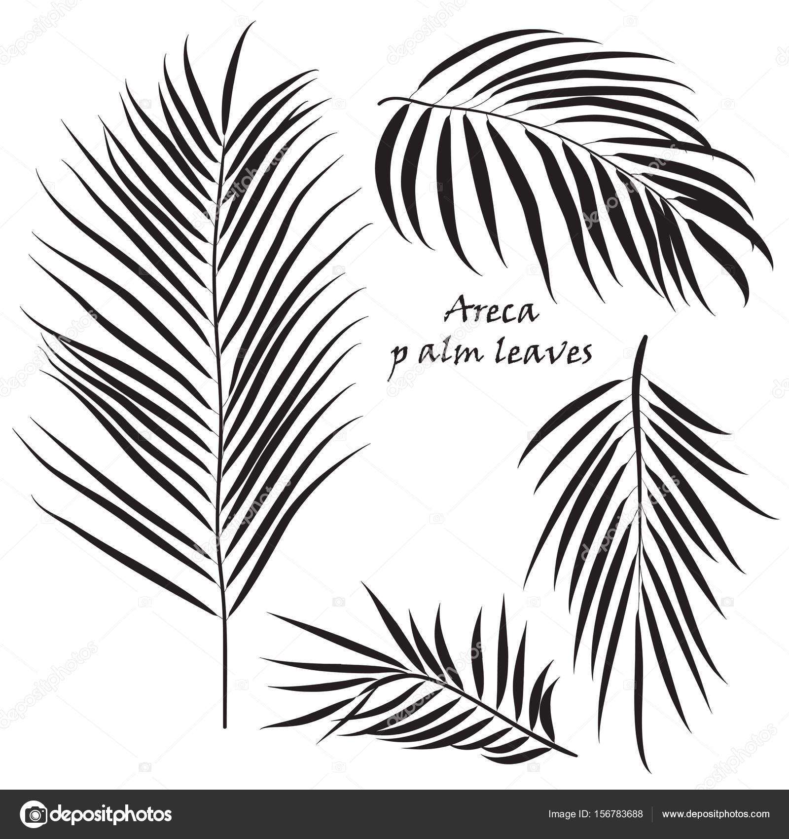 1600x1700 Branch Tropical Palm Areca Leaves. In Black Colors, Isolated