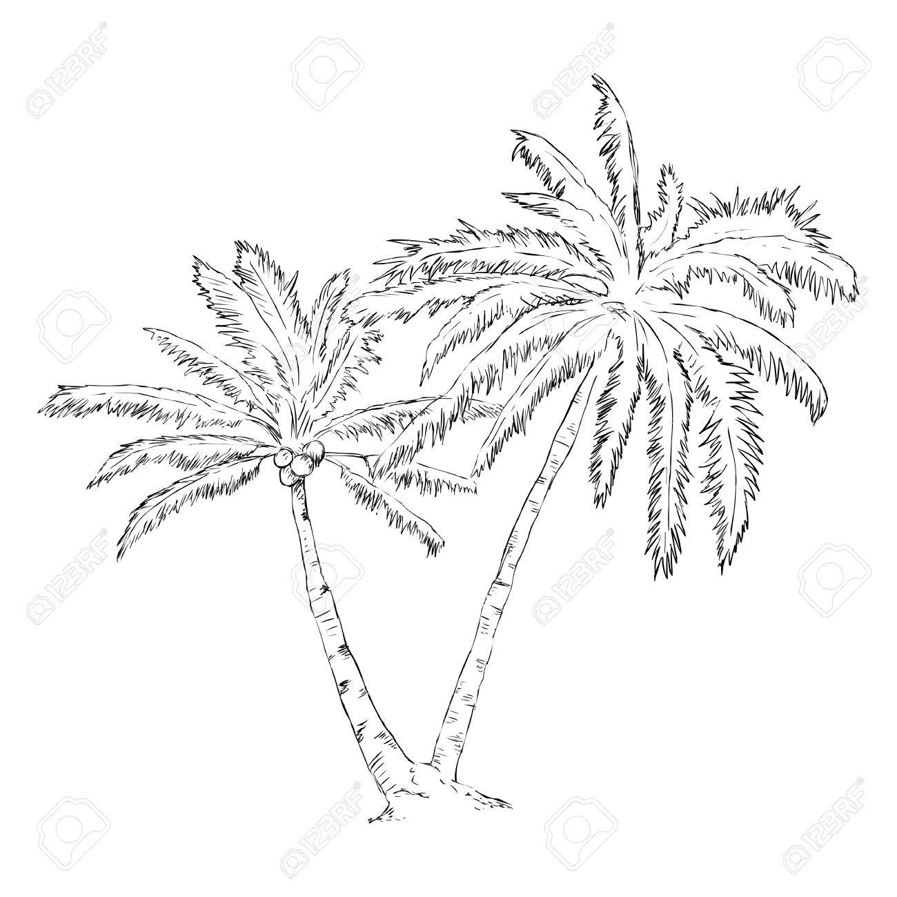 1300x1300 Vector Single Sketch Palm Tree Royalty Free Cliparts, Vectors,