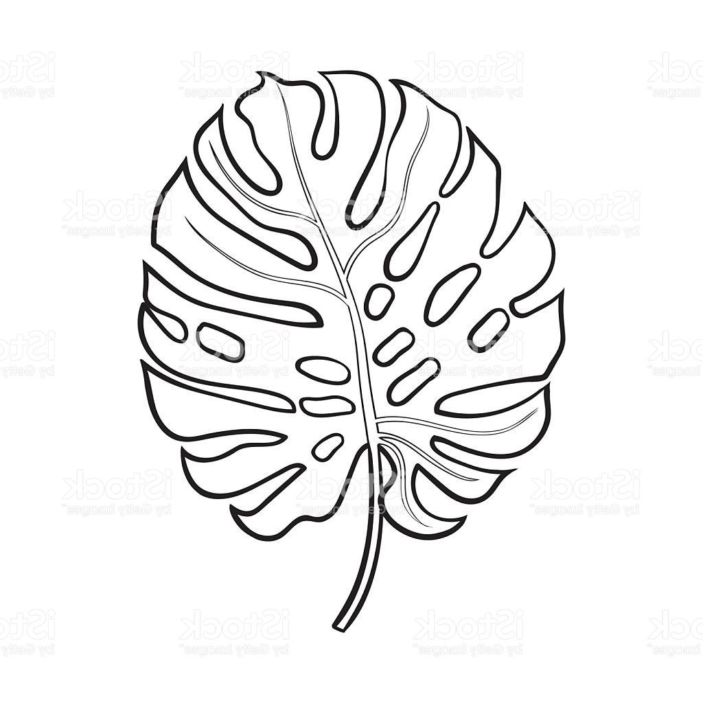1024x1024 Best Full Leaf Of Monstera Palm Tree Sketch Vector Illustration