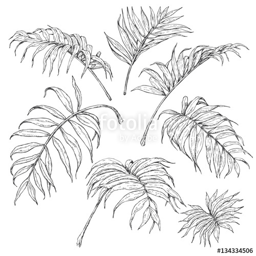 500x500 Palm Fronds Sketch Stock Image And Royalty Free Vector Files