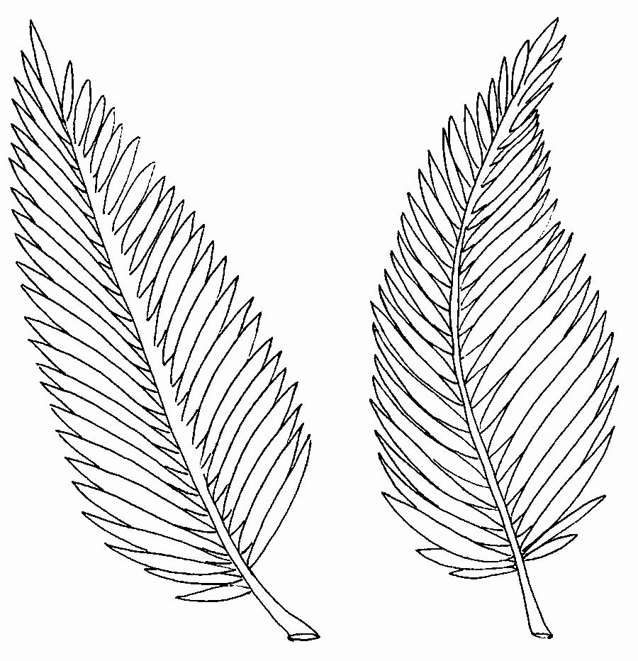 900x932 Palm Leaf Coloring Pictures