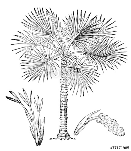 434x500 Victorian Engraving Of A Palmyra Palm Tree Stock Photo