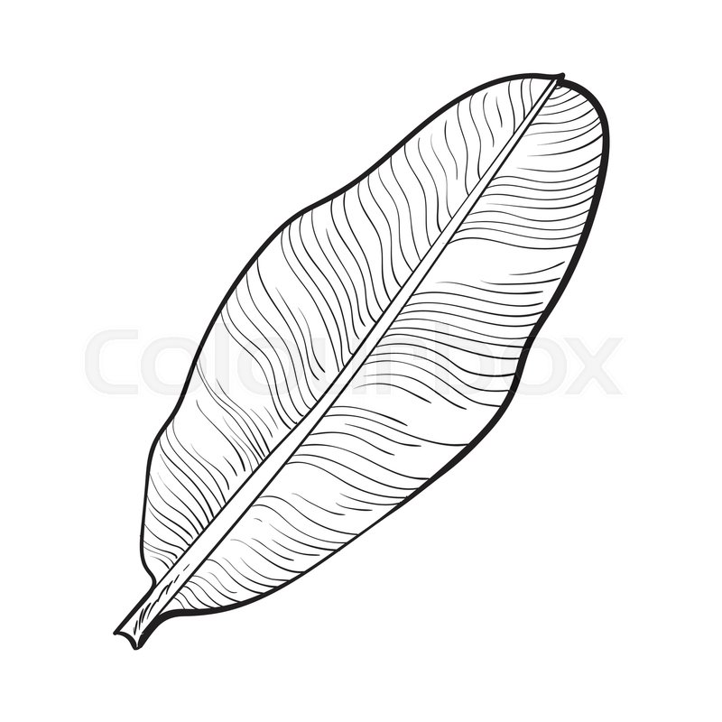 800x800 Full Fresh Leaf Of Banana Palm Tree, Sketch Style Vector