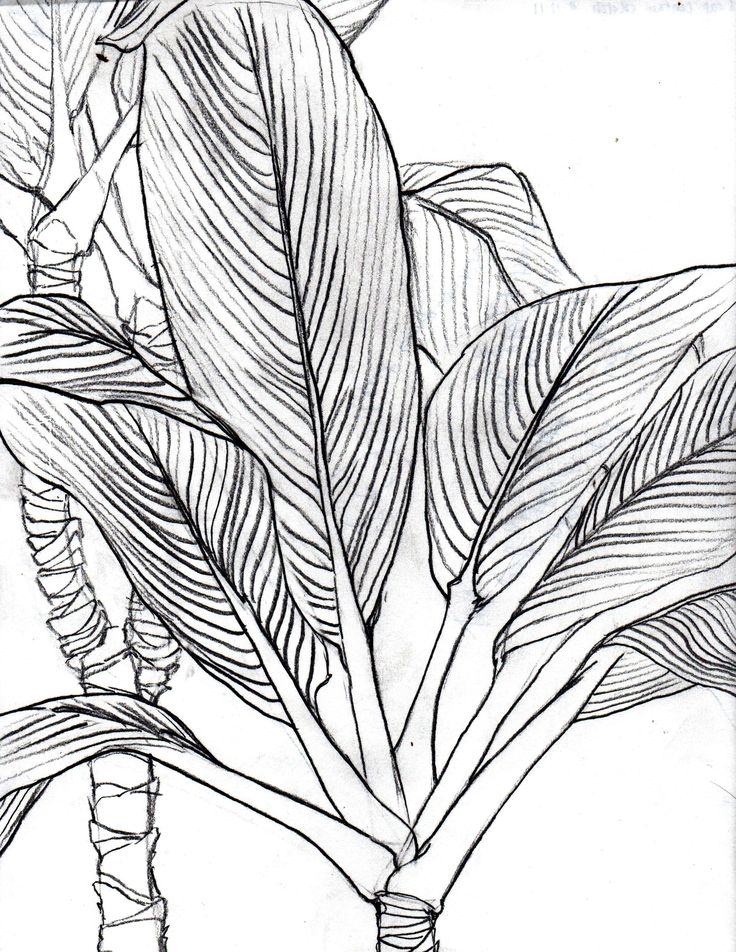 736x952 Visualization Basics Tropical Leaves Contour Drawing From Life