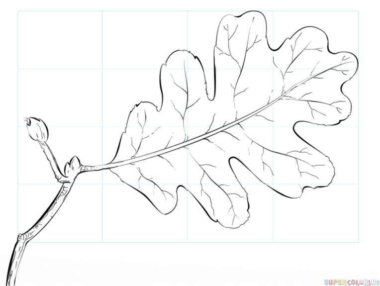 764x575 How To Draw An Oak Leaf Step By Step Drawing Tutorials