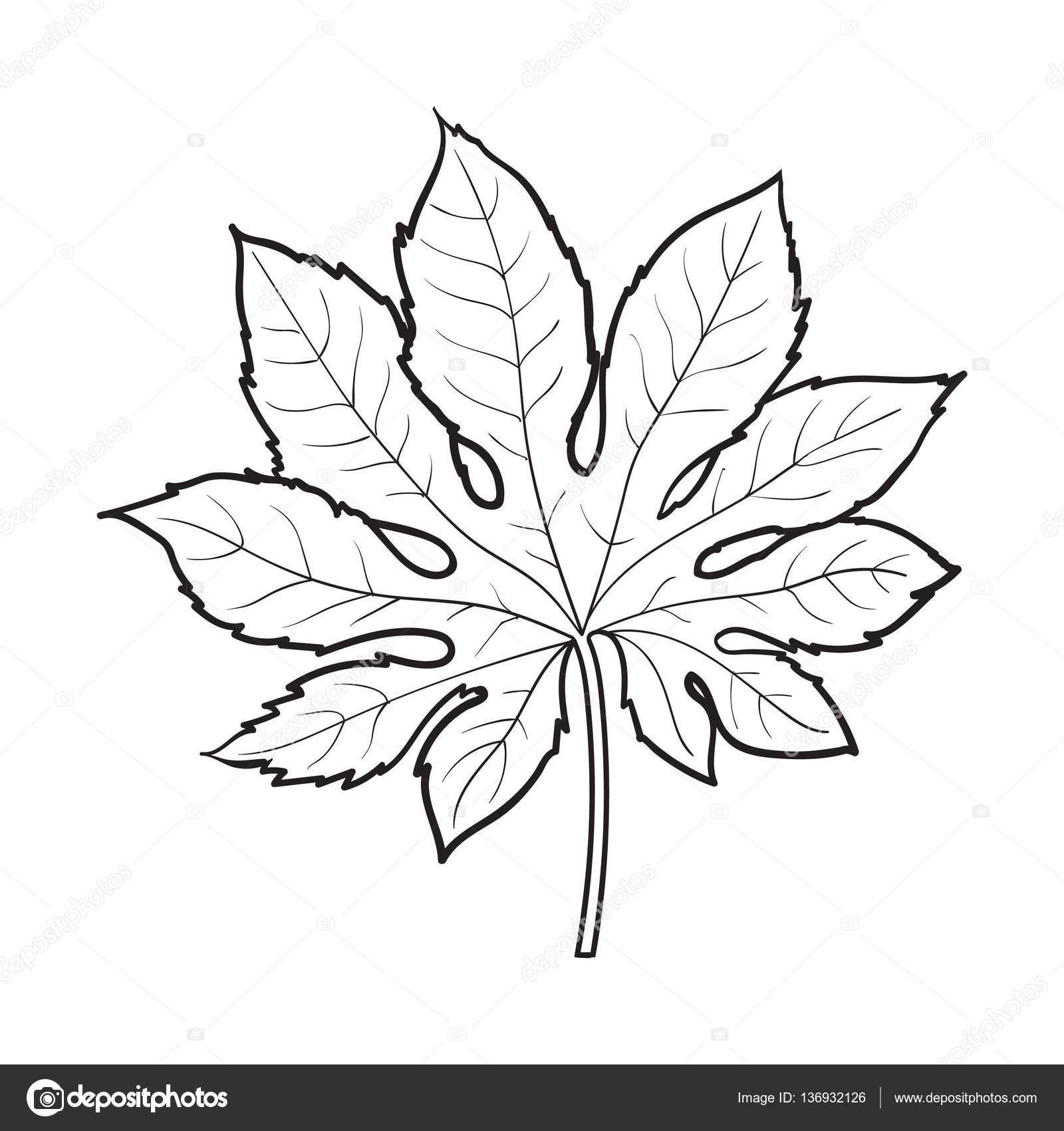 1600x1700 Full Leaf Of Fatsia Japonica Palm Tree, Sketch Vector Illustration