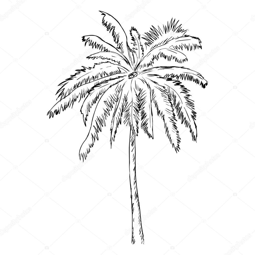 1024x1024 Single Sketch Palm Tree Stock Vector Nikiteev
